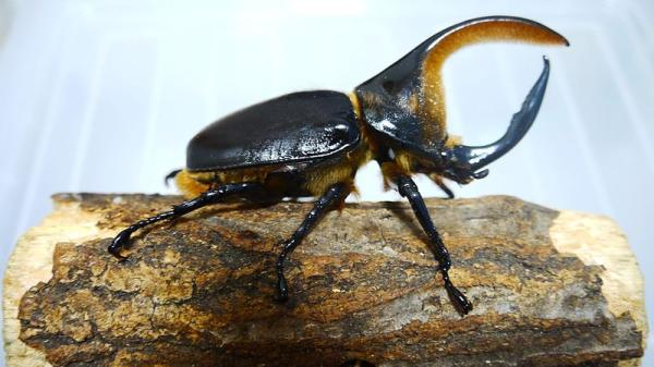 13 animales en peligro de extinción en Bolivia - Escarabajo satanás (Dynastes satanas)