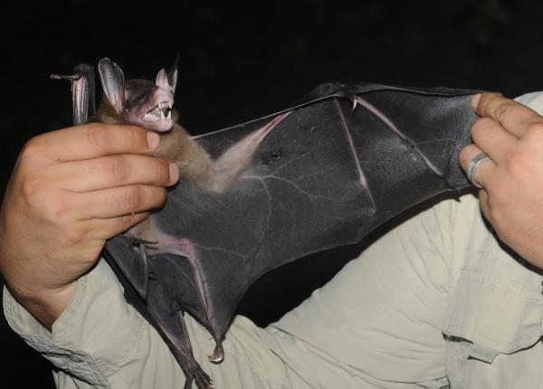 13 animales en peligro de extinción en Bolivia - Falso vampiro (Vampyrum spectrum)