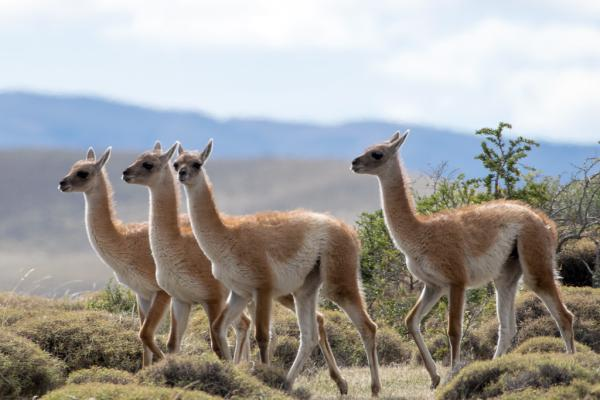 13 animales en peligro de extinción en Bolivia - Guanaco (Lama guanicoe)