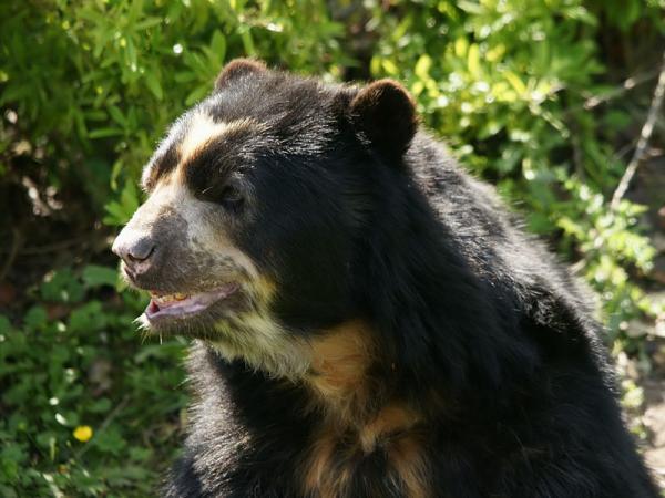 13 animales en peligro de extinción en Bolivia - Oso andino (Tremarctos ornatus)
