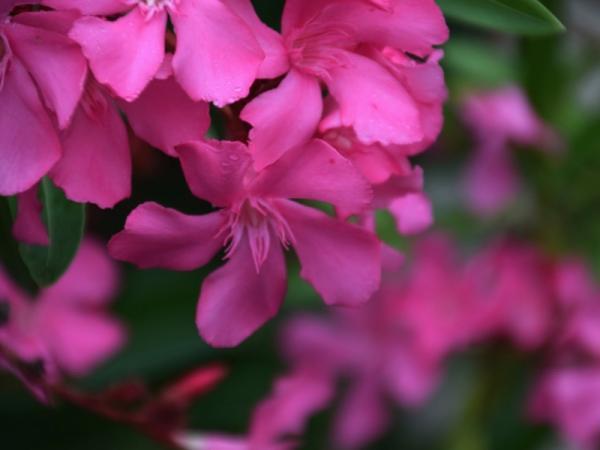 Cuáles son las plantas más venenosas del mundo - Adelfa, la planta más venenosa del mundo