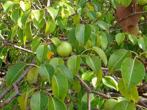 Cuáles son las plantas más venenosas del mundo - Manzanillo de la muerte