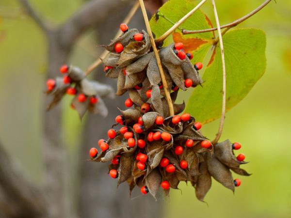 Cuáles son las plantas más venenosas del mundo - Regaliz americano