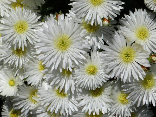 Planta rayito de sol o Lampranthus: cuidados - Cómo es la planta rayito de sol o Lampranthus