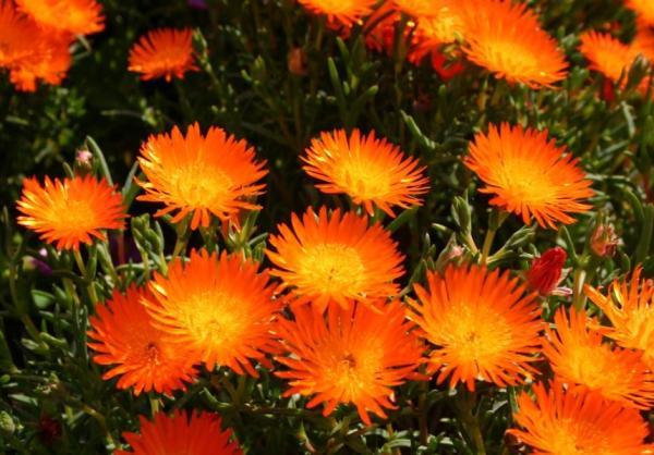 Planta rayito de sol o Lampranthus: cuidados - Planta rayito de sol: reproducción