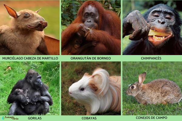 Animales frugívoros: características y lista de ejemplos - Ejemplos de animales frugívoros que son mamíferos