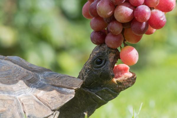 Animales frugívoros: características y lista de ejemplos - Lista de animales frugívoros - ejemplos de reptiles