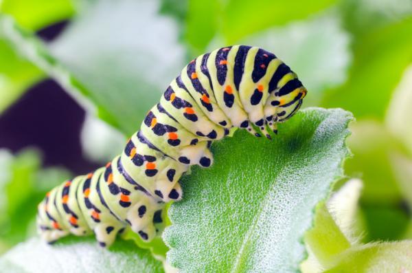 Elciclo de vida de una mariposa: etapas e imágenes - Etapa de oruga o estado larvario