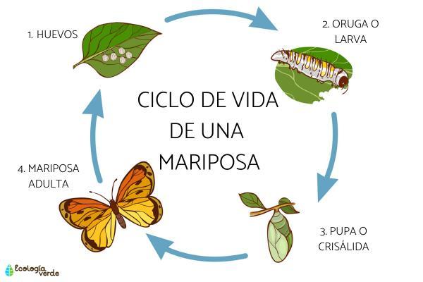 Elciclo de vida de una mariposa: etapas e imágenes - Etapas del ciclo de vida de una mariposa