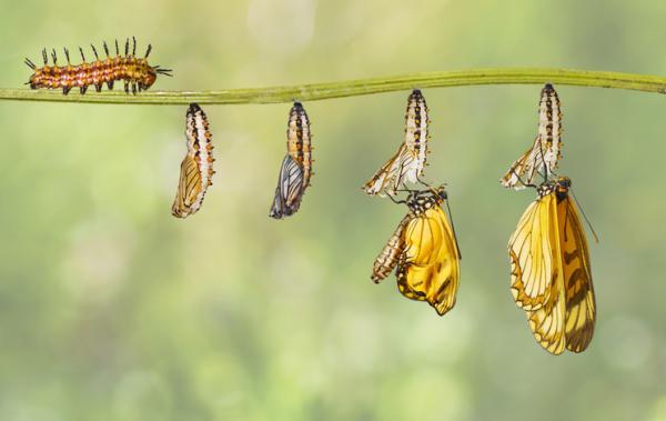Elciclo de vida de una mariposa: etapas e imágenes - Fase de pupa: etapa previa a la metamorfosis de las mariposas