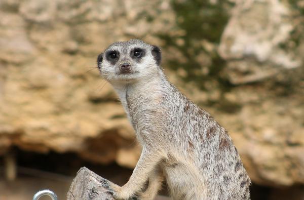 Animales del desierto: características y nombres - Mamíferos que habitan en el desierto