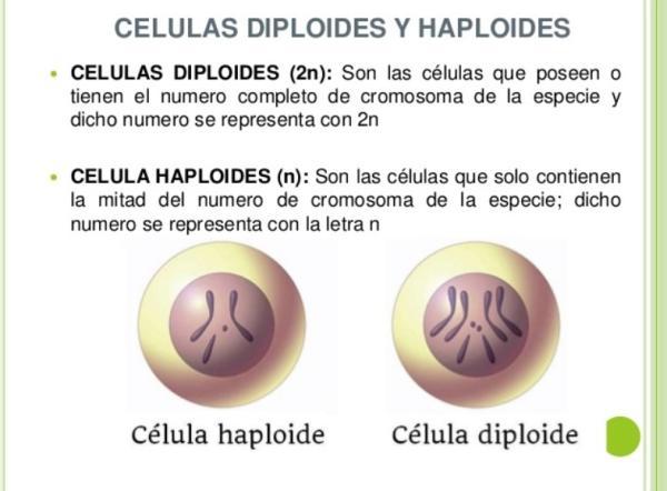 Diferencia entre célula haploide y diploide - Principales diferencias entre célula haploide y diploide