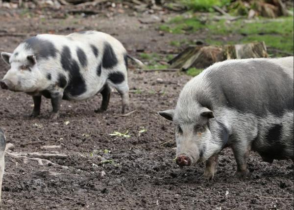 Animales que viven en el campo - Cerdo