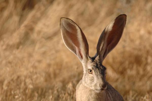 Animales que viven en el campo - Liebres