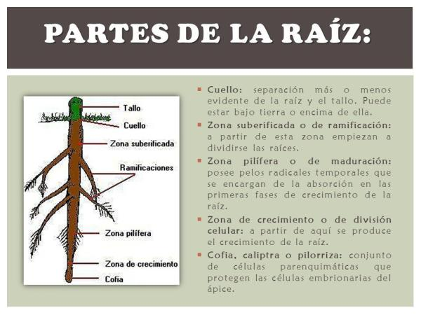 Partes de la raíz y sus funciones