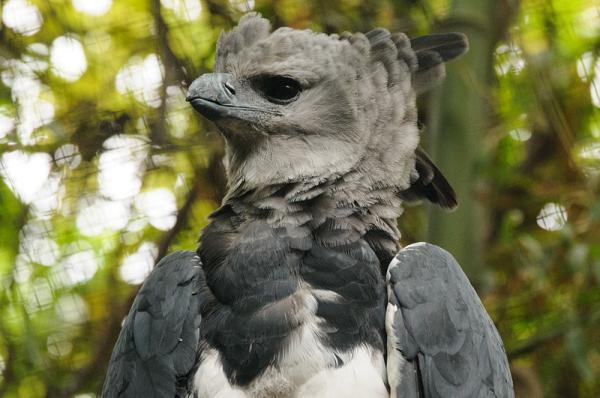 17 animales en peligro de extinción en Ecuador - Águila arpía (Harpia harpyja)