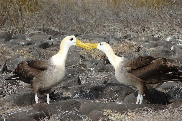 17 animales en peligro de extinción en Ecuador - Albatros de las Galápagos (Phoebastria irrorata)