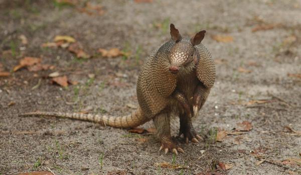 17 animales en peligro de extinción en Ecuador - Armadillo gigante (Priodonte maximus)