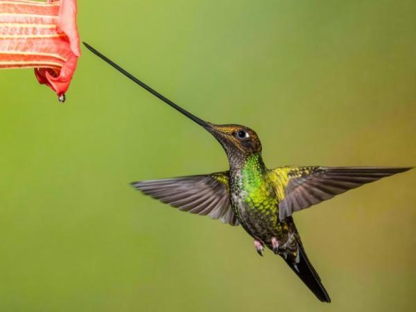 17 animales en peligro de extinción en Ecuador - Colibrí picoespada (Ensifera ensifera)