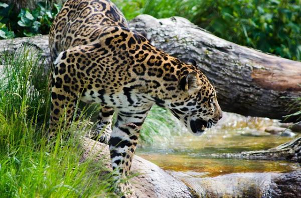 17 animales en peligro de extinción en Ecuador - Jaguar (Panthera onca)