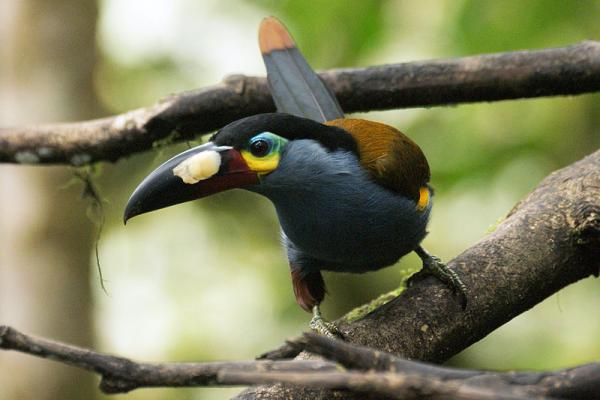 17 animales en peligro de extinción en Ecuador - Tucán andino (Andigena laminirostris)