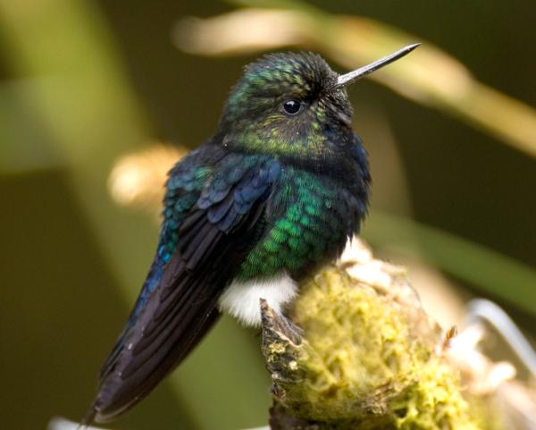 17 animales en peligro de extinción en Ecuador - Zamarrito pechinegro (Eriocnemis nigrivestis)