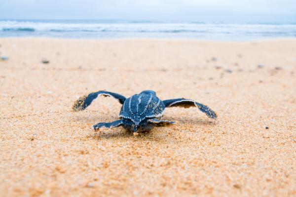 ¿La tortuga laúd está en peligro de extinción?