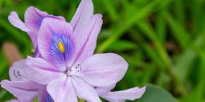 Camalote: una planta muy invasora