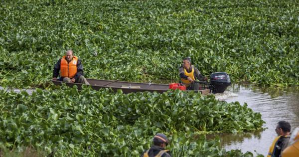 Camalote: una planta muy invasora - Cómo llegó el camalote al río Guadiana