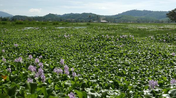Camalote: una planta muy invasora - Cómo se reproducen los camalotes
