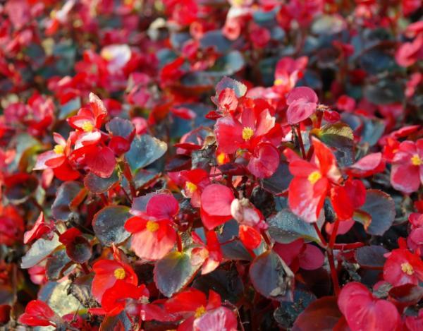 Cultivo y cuidados de la begonia - Cuidados de las begonias