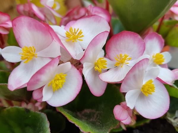 Cultivo y cuidados de la begonia