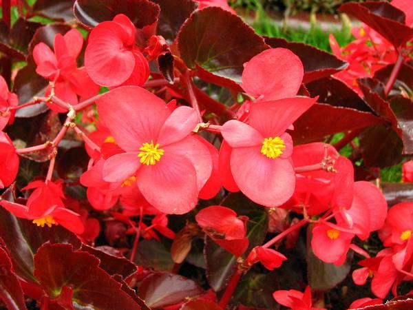 Cultivo y cuidados de la begonia - Las begonias y sus tipos