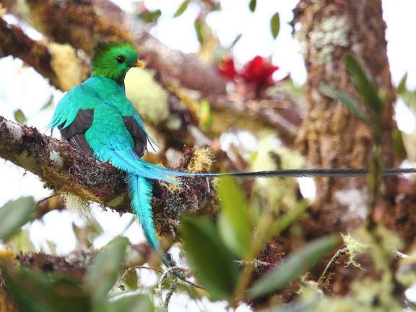 Por qué está en peligro de extinción el quetzal en México - Características del quetzal o Pharomachrus mocinno