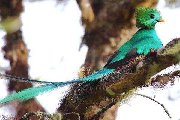 Por qué está en peligro de extinción el quetzal en México