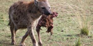 Cuáles son los animales carroñeros: ejemplos