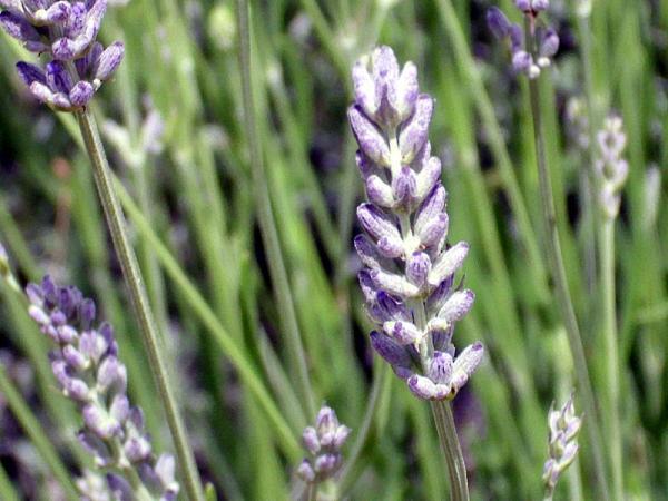 12 tipos de lavanda - Lavandula latifolia