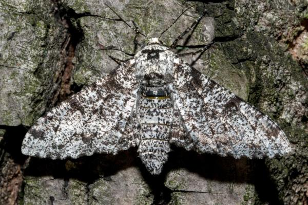 +20 animales que se camuflan - Mariposa del abedul