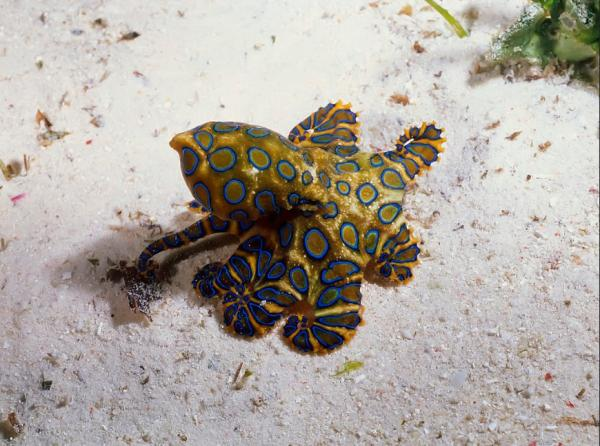 +20 animales que se camuflan - Pulpos de anillos azules