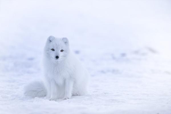 +20 animales que se camuflan - Zorro polar ártico