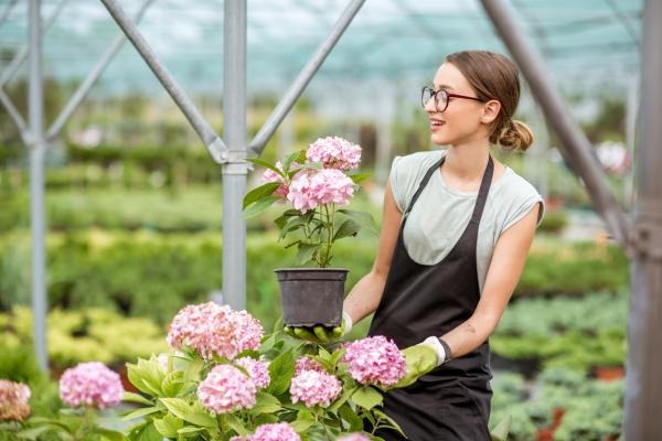 Cómo cuidar las hortensias en maceta - Cómo plantar hortensias en maceta
