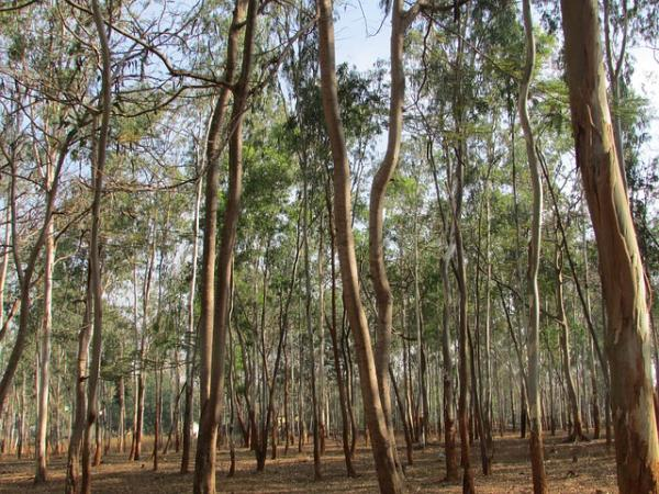 15 curiosidades de la naturaleza que te sorprender n for Arboles de hoja perenne que crece rapido