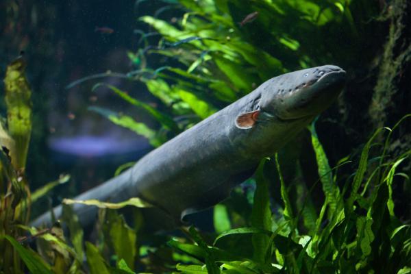 15 curiosidades de la naturaleza que te sorprenderán - La descarga eléctrica de las anguilas