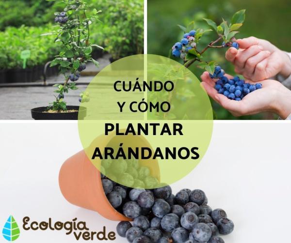Plantar arándanos: cuándo y cómo hacerlo
