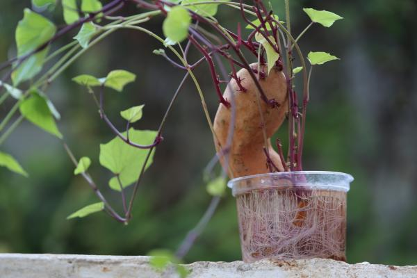 Cómo plantar boniatos - Cómo plantar boniatos en maceta