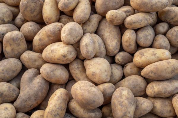 Tipos de patatas - Patata Kennebec o gallega