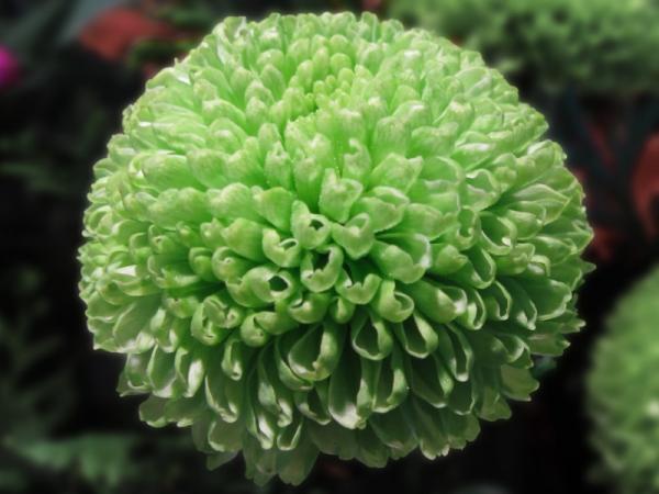15 flores verdes - Chrysanthemum o crisantemo de flores verdes