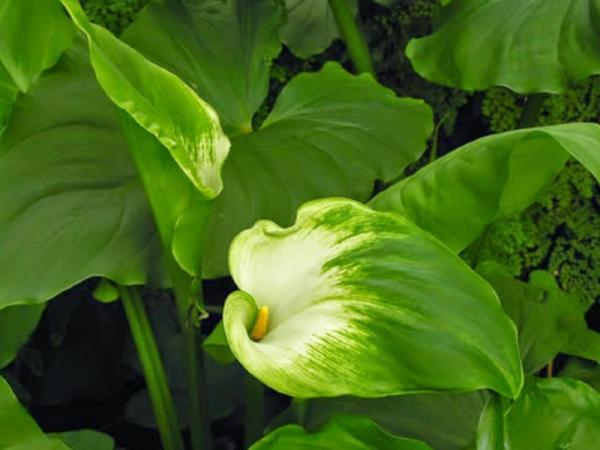 15 flores verdes - Zantedeschia, calla lily o lirio de agua verde