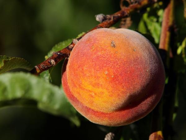 Germinar semillas de durazno: cómo hacerlo y cuidados