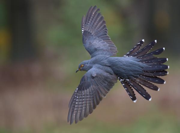 Pájaro cuclillo: incubación y ambiente - Pájaro cuclillo - características generales